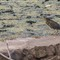 black_crown_night_heron
