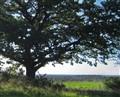 Oak tree framing the view