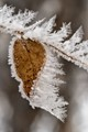 Leaf and branch fringed with hoar frost