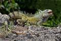 Iguana Iguana (Curacao)