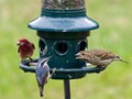 Purple Finches vs Red Breasted Nuthatch