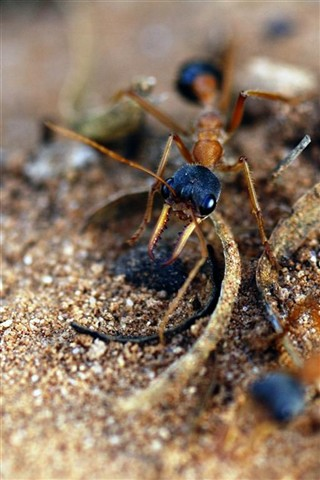 inch ant