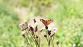 Butterfly - Naturpark Hohes Venn-Eifel
