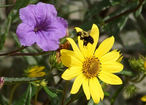 FD70-150mm4.5@4.5 Bee in Flight Yellow Flowers 1134 Crop