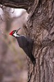 Pileated1-1