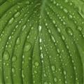 Hosta After Rain