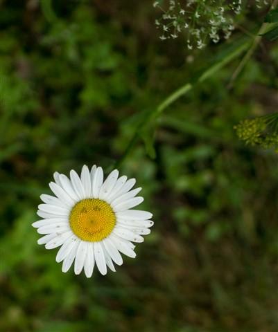 smiling-daisy-01328