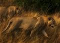 Young Lions, Masai Mara