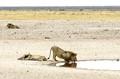 Thursty lions in the Etosha National Park, Namibia