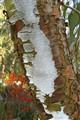 Eucalyptus Caesia