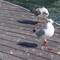 seagull_barca