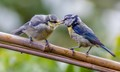 Bluetit mother and child