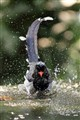A bathing Red-billed Blue Magpie