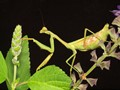 Mantis at your service