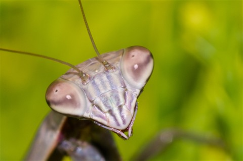 praying mantis head