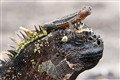 Marine Iguana & Lava Lizard living together