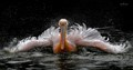 Pelican while Bathing
