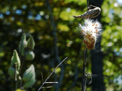 Asclepias syriaca Seeds And Pods (sml)