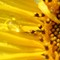 sunflower with water drop resized
