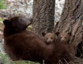 Sequoia bear with cubs