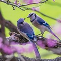 Bluejays ready for love