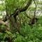 Knarled_Tree_1
