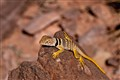 Arizona Collard Lizard