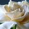 Gardenia # 5