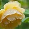 Yellow Rose -08996