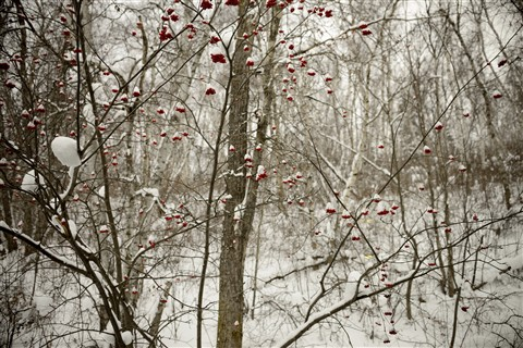 Mountain Ash Berries Winter 2012 5x7