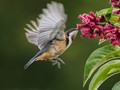 Hovering spinebill