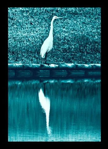 Egret in blue tinge B&W-