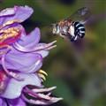 Blue-striped Bee