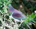 The Kereru (Hemiphaga novaeseelandiae) is the New Zealand native wood pigeon. The photo was taken at the Nga Manu Nature reserve in Waikanae New Zealand. This Nature reserve is a large area of natural forest. The birds are wild and not confined or restricted in any way.