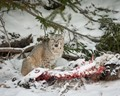 Bobcat (Lynx rufus) on elk yearling carcass along the Madison River in Yellowstone National Park.