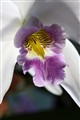 Orchid: Laelia anceps