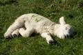 A sleeping lamb