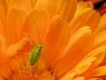 Cricket on calendula flower.