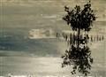 Sydney Harbour mangrove