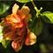 Orange Double Hibiscus_P2020013-cr Edit