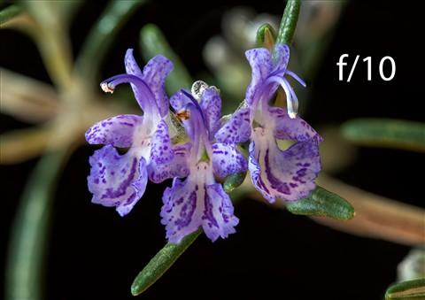 Rosemary 10