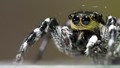 Arachnida Salticidae Venezuelensis