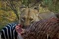 Zebra for Breakfast