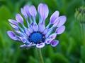 Spoon-petal African Daisy