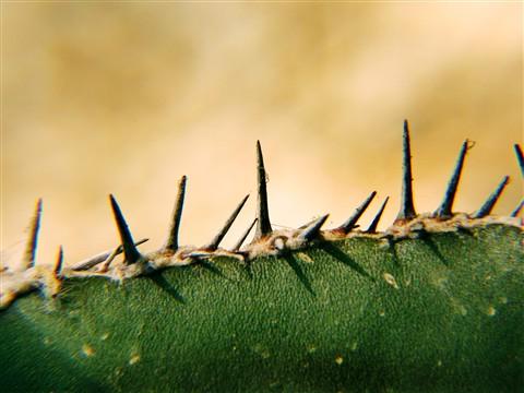 cactus thorns-s