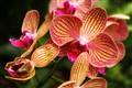Orchids @Singapore Botanic Gardens..