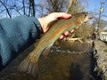 Photo of Rainbow Trout caught from Beaver Creek in Maryland during April.  This is stocked fish that has pretty colors.