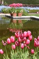 Tulips at the Reflecting Pool