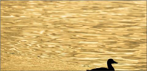 gold-ocean