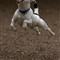 Dog Jumping (Small)